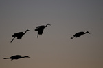 Sandhill Cranes landing at dusk, Bosque del Apache National Wildlife Refuge, NM