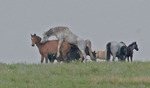 Wild horses mating, South Unit, Theodore Roosevelt National Park, North Dakota