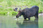 Bull Moose in velvet feeding in water [Summer season], Deer Lakes, Gunnison National Forest, Colorado