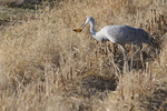 Sandhill Crane with a corn cob, Bosque del Apache National Wildlife Refuge, New Mexico