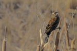 Female Red-winged Blackbird, Bosque del Apache National Wildlife Refuge, New Mexico