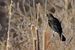 Male Red-winged Blackbird, Bosque del Apache National wildlife Refuge, New Mexico