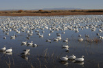 Snow Geese on a pond, Bosque del Apache National Wildlife Refuge, New Mexico