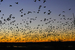 Flock of Snow Geese at Sunrise, Bosques del Apache National Wildlife Refuge, New Mexico