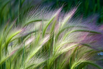 Foxtail Barley Grass, Colorado