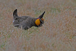 Male Greater Prairie Chicken in courting display and booming on a lek, Konza Prairie Research Natural Area, Kansas