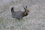 Male Greater Prairie Chicken performing a courting dance on a lek, Konza Prairie Research Natural Area, Kansas