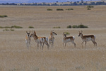 Pronghorn herd, Las Animas County, Colorado