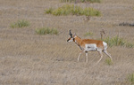 Pronghorn Buck, Las Animas County, Colorado