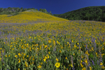 Hillside covered wildflowers, Sunflowers, Mule's Ear, and Penstemon, Gunnison County, Colorado