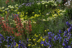 A colorful variety of Colorado wildflowers, Scarlet Gilia, Penstemon, and Buckwheat, Gunnison County, Colorado
