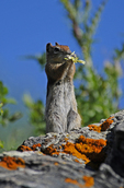 Golden-mantled Ground Squirrel eating a flower, Eagles Nest Wilderness, White River National Forest, Colorado