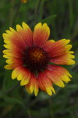 Gaillardia flower, Colorado