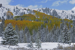 Fresh snow and Fall Aspens, Cumbres Pass, Rio Grande National Forest, Colorado