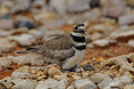 Female Killdeer on a nest with eggs, Palestine, Texas