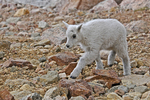 Mountain Goat Kid, Mount Evans, Colorado