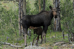 Moose Cow with calf nursing, Summer season, Deer Lakes, Gunnison National Forest, Colorado