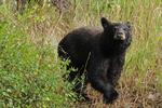Black bear, La Plata County, Colorado