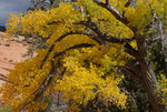 Fall color of a Fremont Cottonwood tree, Zion National Park, Utah