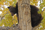 Black Bear in a tree, Fall season, Aspen, Colorado