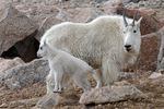 Mountain Goat nanny and kid, Mount Evans, Colorado