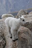 Mountain Goat Kid, Mount Evans, Colorado