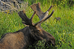 Bull Moose, in velvet, eating willow leaves, Deer Lakes, Gunnison National Forest, Colorado