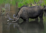 Bull Moose, in velvet, feeding underwater in a pond, Deer Lakes, Gunnison National Forest, Colorado