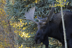 Bull Moose, Fall season, Gunnison National Forest, Colorado