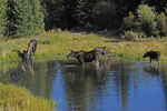 A Bull Moose, Cow, and two calves feeding in a pond, Fall season, Gunnison National Forest, Colorado.