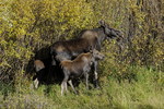 Moose Cow and two calves, Fall season, Gunnison National Forest, Colorado