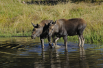 Moose Calves feeding in a pond, Fall season, Gunnison National Forest, Colorado