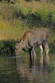 Moose Calf feeding in a pond, Fall season, Gunnison National Forest, Colorado
