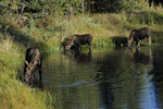Moose Cow and calves feeding in a pond, Fall season, Gunnison National Forest, Colorado
