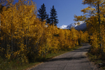 Fall Aspen trees line a road, White River National Forest, Colorado