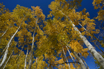 Fall Aspen trees reaching to the sky, Gunnison National Forest, Colorado