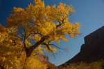 Fall Cottonwood tree along the Colorado River, Utah