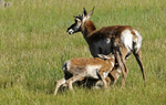 Pronghorn Mother nursing her two fawns at the same time, Bryce Canyon National Park, Utah