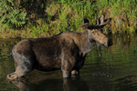 Bull Moose in velvet feeding in a pond, Gunnison National Forest, Colorado