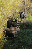 Moose Cow Mother protecting her calves from a Bull Moose, Fall season, Gunnison National Forest, Colorado