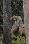 Rocky Mountain Bighorn Sheep Ram, Colorado
