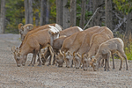 Rocky Mountain Bighorn Sheep herd licking minerals off of the ground, Colorado