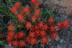 Paintbrush flowers, Arches National Park, Utah