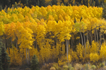 The changing colors of Fall Aspen trees, San Isabel National Forest, Colorado