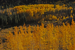 Golden Fall Aspen trees, San Isabel National Forest, Colorado