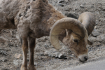 Rocky Mountain Bighorn Sheep Ram licking minerals off of the ground, Colorado