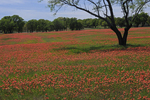 Field of Paintbrush flowers, Texas