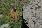 Yellow-bellied Marmot, Crystal Lake, Uncompahgre National Forest, Colorado