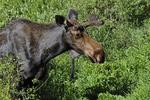 Bull Moose, in velvet, Maroon Lake, Maroon Bells Scenic Area, White River National Forest, Colorado