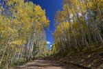 Fall Aspens along Kebler Pass Road, Gunnison National Forest, Colorado